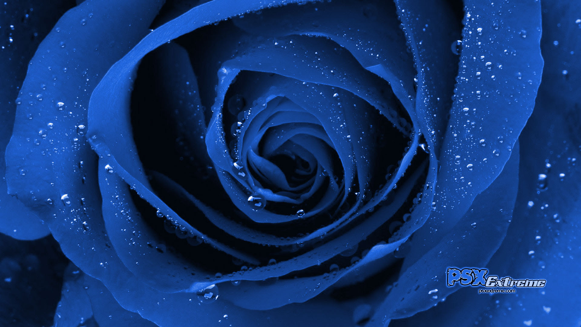 Blue Rose Wallpapers