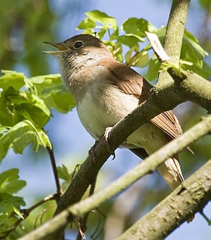 singing Nightingale (Luscinia megarhynchos)