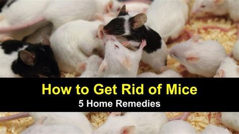 How to Get Rid of Mice   5 Home Remedies