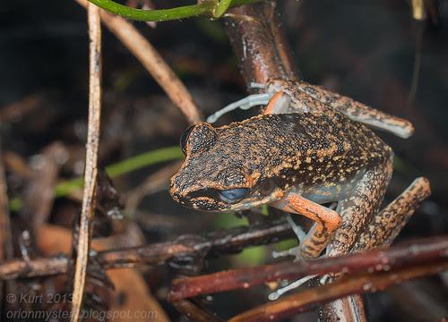 Banjaran Frog (Hylarana banjarana) IMG_9980 copy