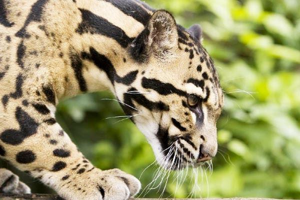 "perierga.gr - Η σπάνια ""συννεφιασμένη"" λεοπάρδαλη!"