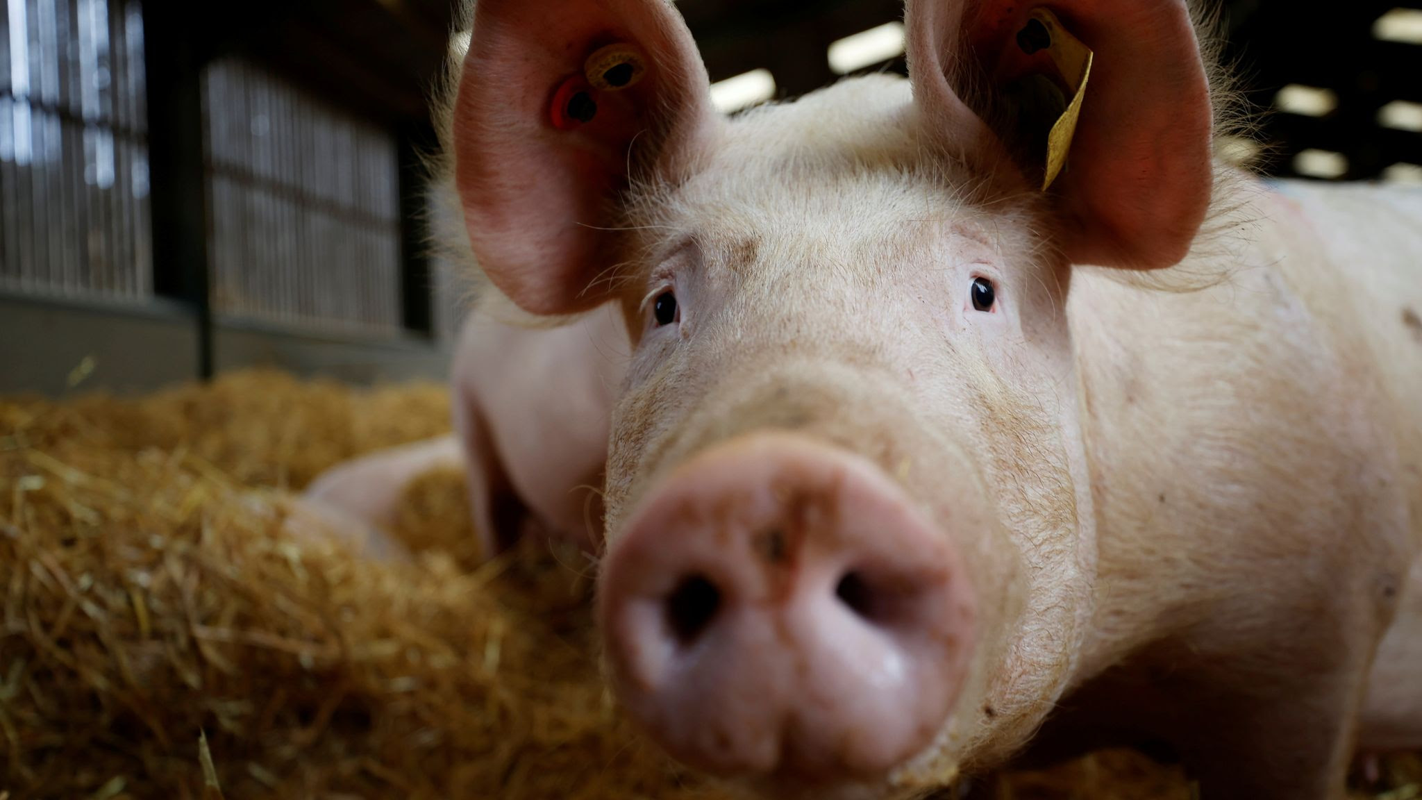 Supply crisis: Overseas butchers and abattoir workers to be granted six-month seasonal worker visas to deal with pig backlog