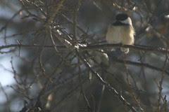 Black-Capped Chickadee in Plum Tree