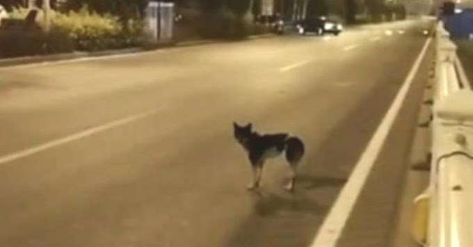 Un perro lleva 80 días esperando que su dueña vuelva en la carretera donde murió en un accidente