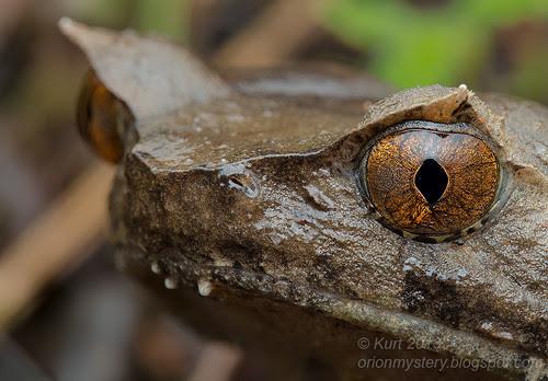 Perak Spadefoot Frog IMG_0038 stk copy