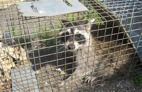 20 Exemplary Home Remedies for Raccoons Repellent ? Natural Getting Rid Methods