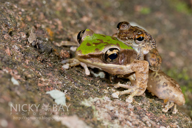 Larut Torrent Frog (Amolops larutensis) on Hose's Frog (Odorrana hosii) - DSC_4861