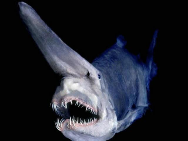 criaturas-mais-feias-e-bizarras_tubarao-duende_1