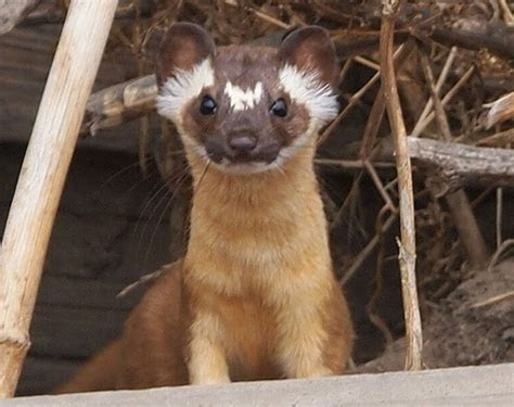 long tailed weasel   Natural History