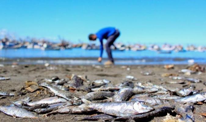 κόκκινη παλίρροια σαρδέλες Χιλή σολομό πεθαίνουν-off, τα ψάρια πεθαίνουν-off, Χιλή μάζα ψάρια πεθαίνουν-off, κόκκινη παλίρροια σκοτώνει εκατομμύρια των ψαριών στη Χιλή, γιατί τα ψάρια πεθαίνουν στη Χιλή, Χιλή ο σολομός και οι σαρδέλες πεθαίνουν-off