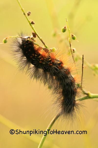 Yellow Bear Caterpillar, Dane County, Wisconsin