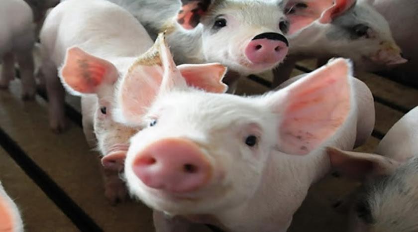 0-24-empresa-porcina.jpg
