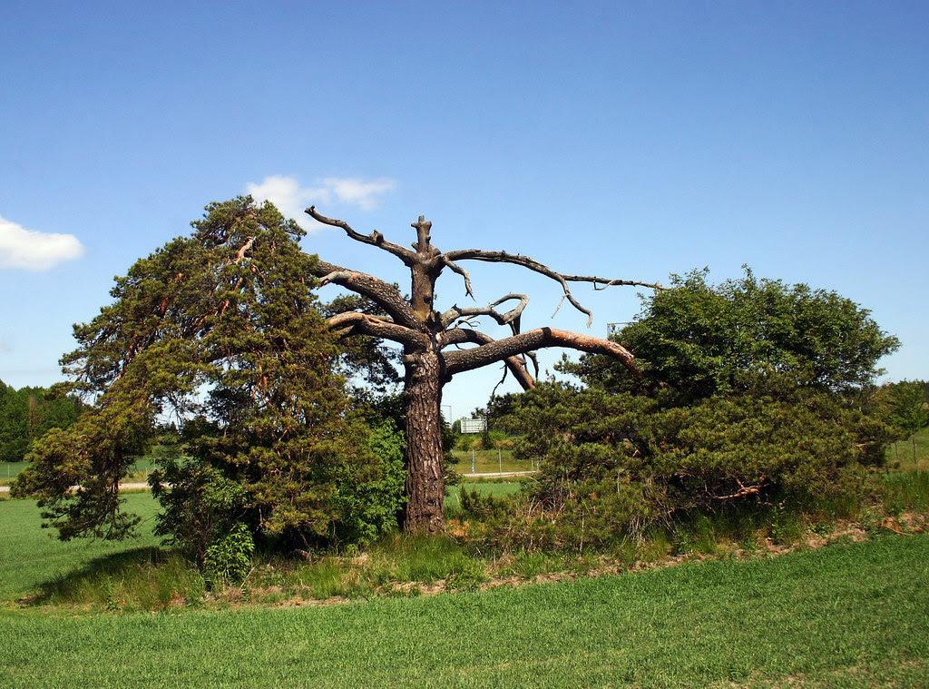 Toothache Tree