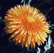 [Figure2.1.2 (vestigial dandelion]