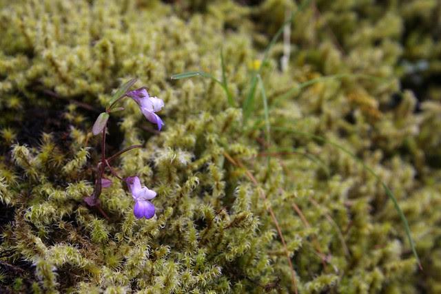 wildflowers, wahclella falls