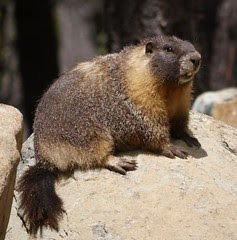 and marmot love too