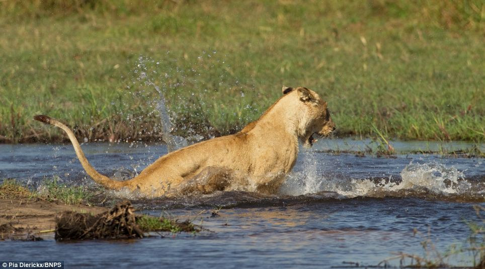 Protective: The lioness succeeds in forcing the crocodile beneath the water