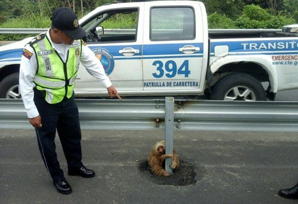 A transit police officer gazes down at the sloth that was trapped in the middle of a highway in Ecuador.