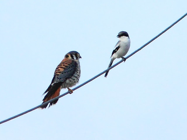Kestrel and shrike 2-20121213
