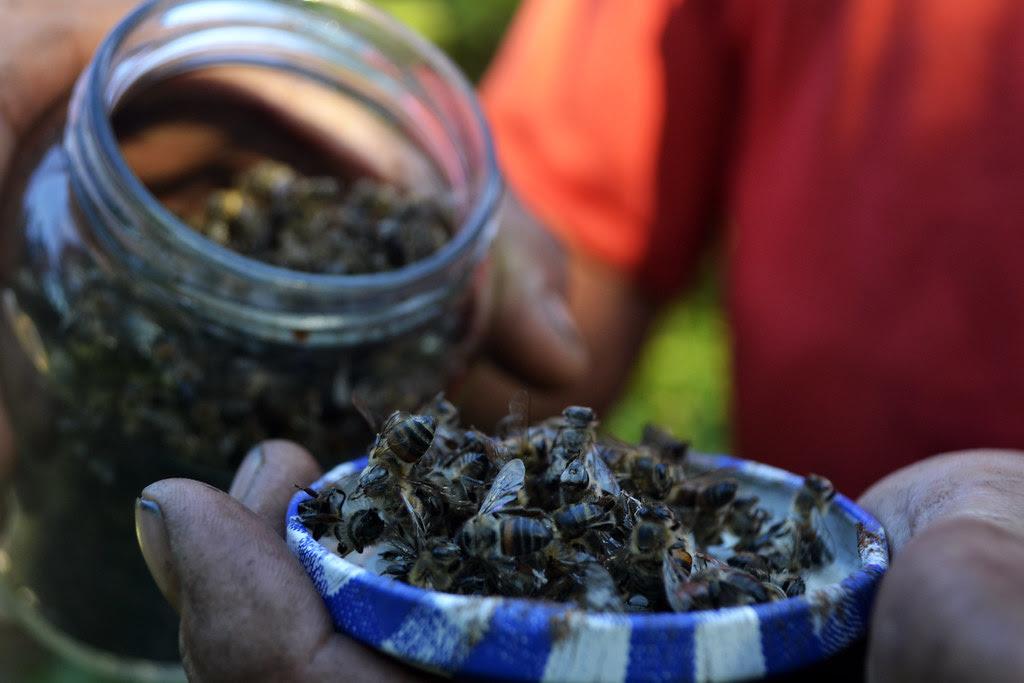 Matéria I - Apicultores afirmam que a mortandade de colmeias inteiras está liagda à soja transgênica (1).jpg