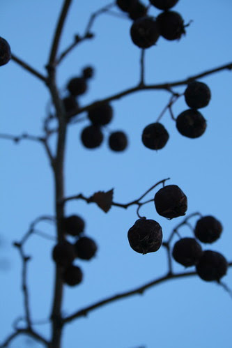 Winter Berry Silhouette II (SOTC 77/365) by gina.blank