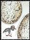 Eurasian Oystercatcher Haematopus ostralegus