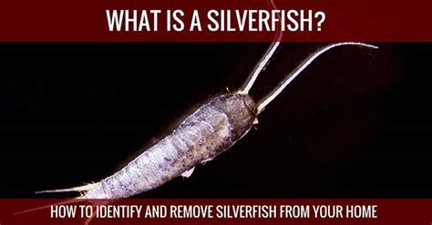 What is a Silverfish & Where Do They Come From?
