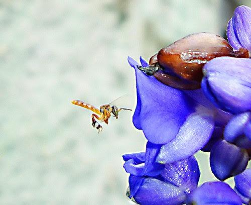 abelha jataí