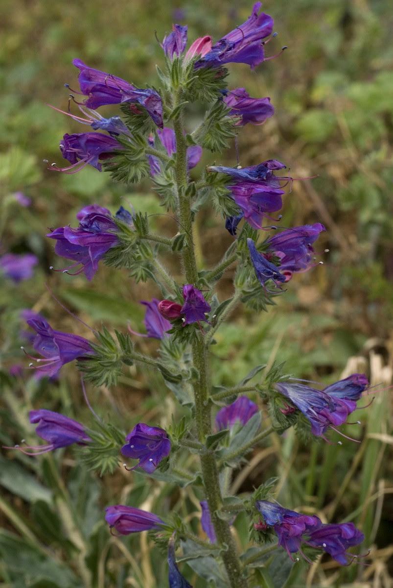 Resultado de imagen de Echium gaditanum
