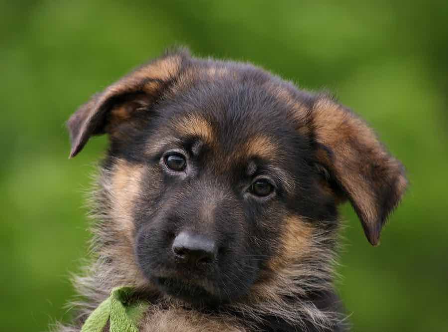 Purebred German Shepherd Puppies FOR SALE ADOPTION New Zealand