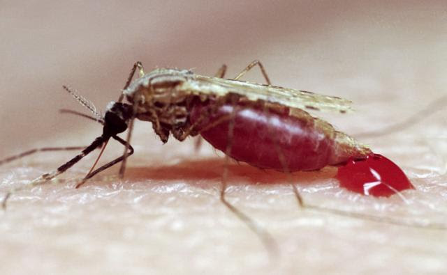 Mosquito sucking human blood
