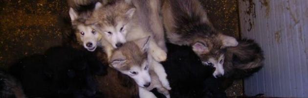 Maltrattamento animali, scoperto allevamento abusivo con 100 cani