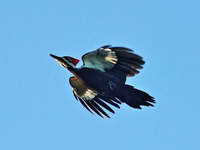 Pileated Woodpecker in flight 3-20131208