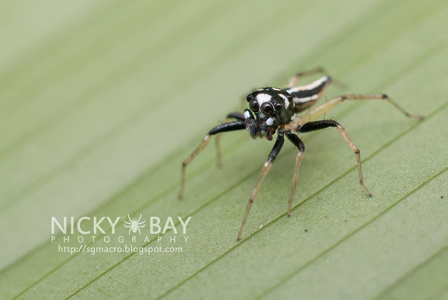 Jumping Spider (Salticidae) - DSC_7188