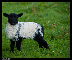 Little Irish Sheep