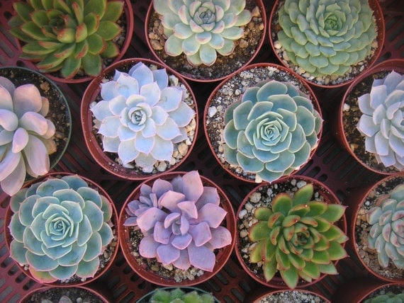 6 Large Succulent CUTTINGS, Rosette Shape, Great Size For Your Bouquet, Wedding Decor, From 4 Inch Pots