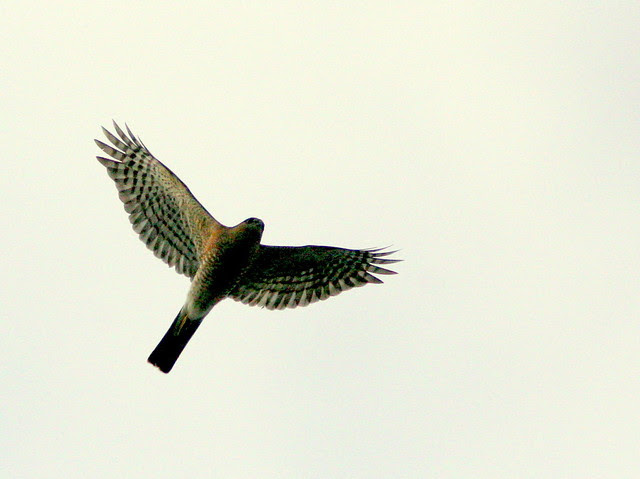 Sharp-shinned Hawk 20091206