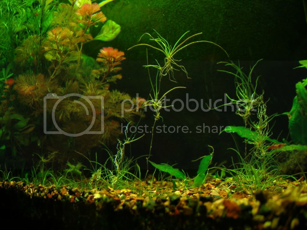 goldfish planted tank. goldfish planted tank. place