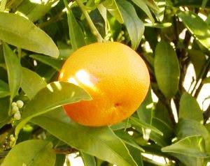 File:Mandarina.jpg
