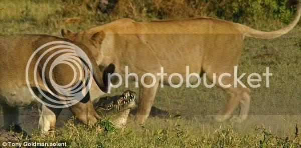 Singa Mengamuk Membunuh Buaya