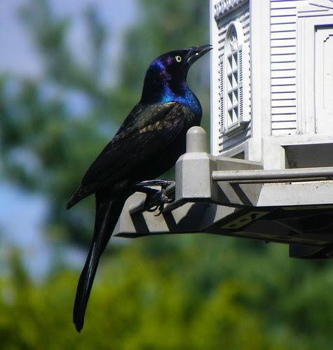 On The Irridescence Of Blackbirds II