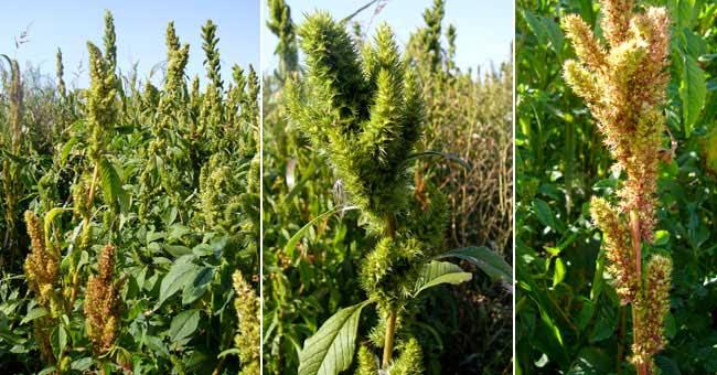 http://www.gilbertjac.com/4_fleurier/images/amara_amarante_hybride.jpg