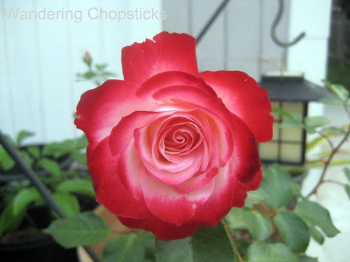 5.8 Double Delight Rose 3