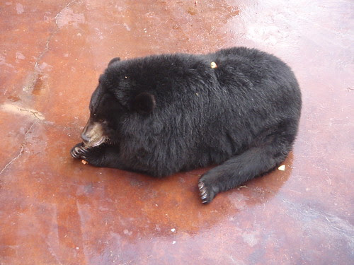 eating bear