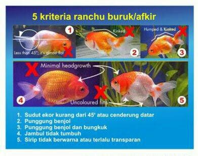 Download 660 Gambar Ikan Mas Koki Ranchu HD Terbaru