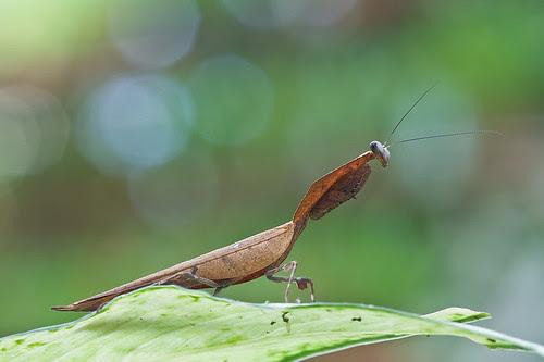 Dead leaf mantis, Deroplatys sp. IMG_3605 copy