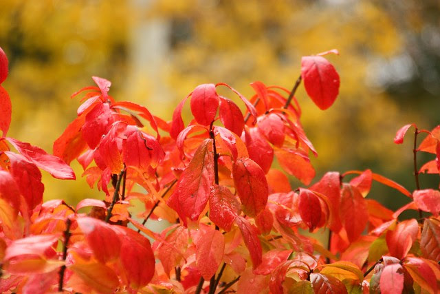 Burning Bush Changing Color