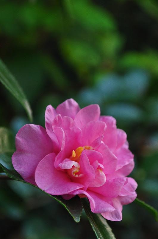 Camellia sasanqua 'Showa-no-sake'
