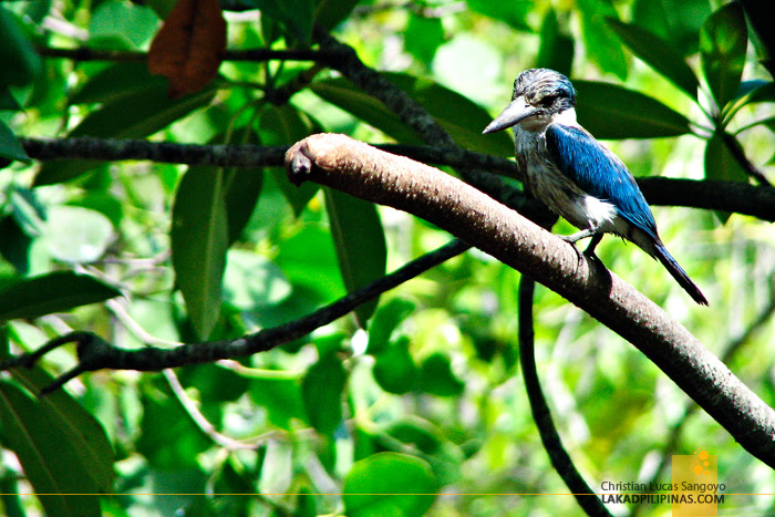 Kingfisher at Kalibo's Bakhawan Eco Park