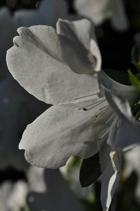 Rhododendron x 'Mrs. G. G. Gerbing' (2)